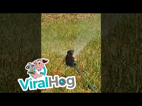 Fisher - Watch This Lizard In Australia Cool Down On A Sprinkler Head