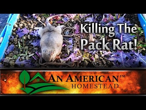 Killing The Greenhouse Pack Rat!