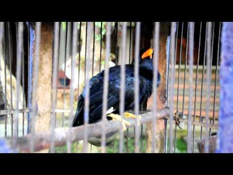 Balinese bird, Ubud, Bali, Indonesia