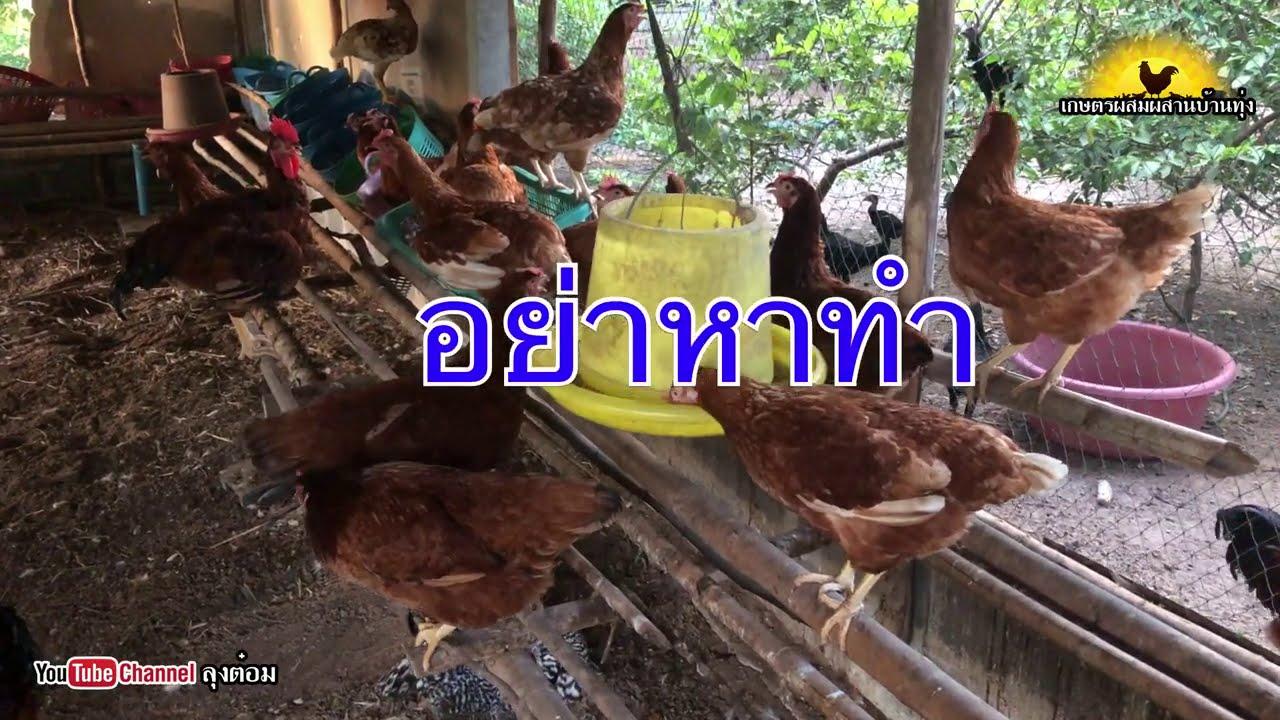 ผสมพันธ์ุไก่ไข่ อย่าหาทำ