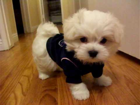 boy maltese yawning cute teacup maltese boy youtube 3983