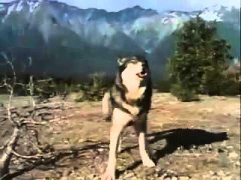 Ujku Shpeton Njeriun Nga Ariu
