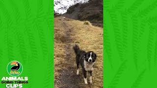 Alpaca and Dog on a Hike | Animals Doing Things Clips