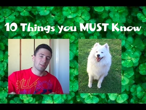 10 Things you MUST Know about Samoyeds!