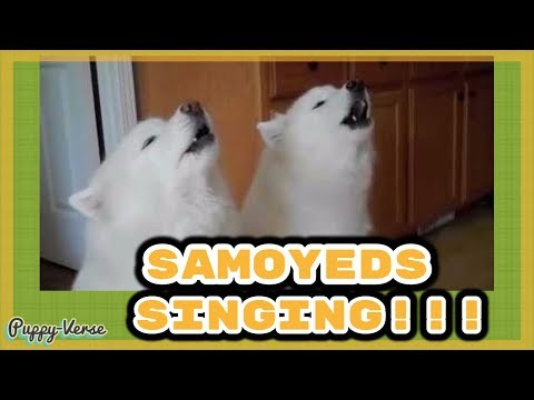 Samoyeds Sing and Harmonize