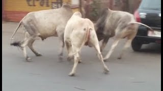 Heavy Bull Fight on busy Indian Road | Watch at 2.22 for mega clash