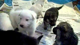 Akc German Shepherd Puppies- Black Paws German Shepherds