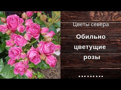 Обильно цветущие розы в саду на даче