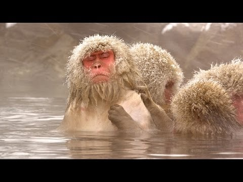Watch Snow Monkeys Grooming Each Other | Nature on PBS