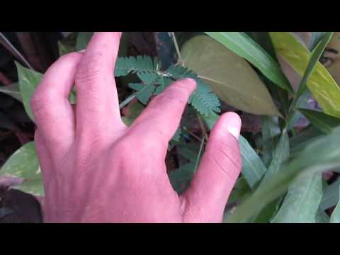 TOUCH ME NOT PLANT IN ACTION AND HOW DOES IT WORKS