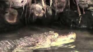 Krokodillen Voeren in Amsterdam Artis