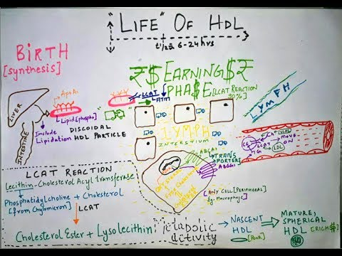 High Density Lipoprotein - HDL Metabolism