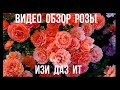 Видео обзор розы Изи Даз Ит (Флорибунда) - Easy Does It (Harkness, 2010)