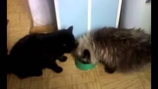 Кошки едят из одной миски