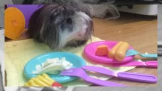 Перуанская морская свинка знает все правила этикета