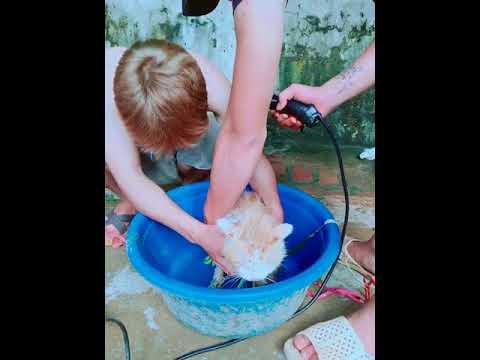 Làm Sao Để Tắm Cho Mèo Đúng Cách ᴴᴰ ✔