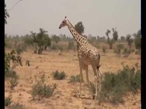ATPF (Niger) : La girafe, l'arbre et le paysan