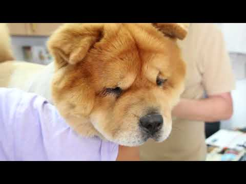 A 3-year-old adopted Chow Chow passed her physical examination
