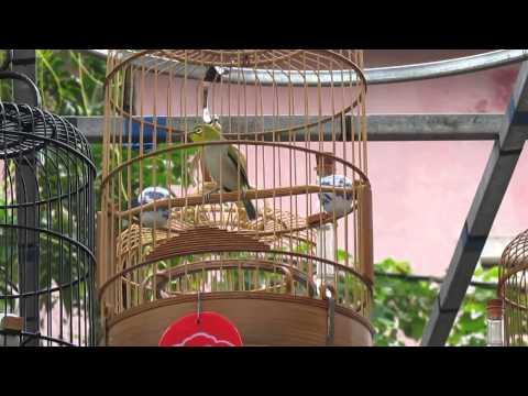 Cuộc thi tiếng hót chim vành khuyên lần thứ 5. Vòng Gala tốp 5. Tại 117 Lê Thánh Tôn-Huế