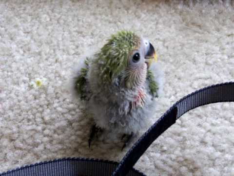 Baby Lovebirds Playing