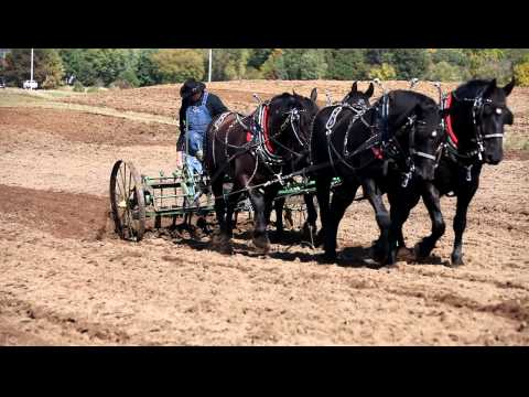 Teams of Percherons Pulling Field Cultivators