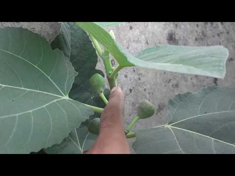 how to grow fig(anjeer)plant from cutting in urdu/hindi