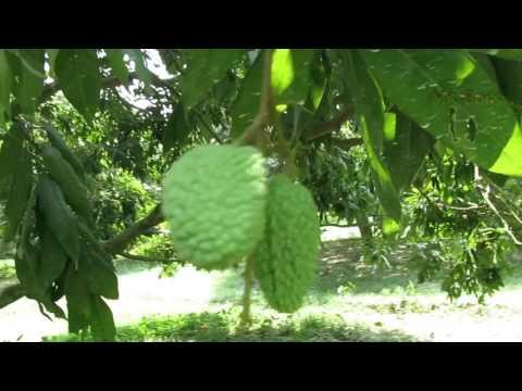 Big lychee garden.