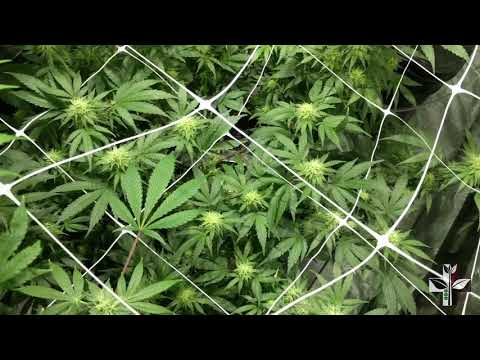 RDWC Day 30 something with PLC CXP 250 LED Grow Lights