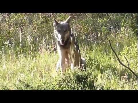 Lamar Canyon Pack, Yellowstone. Female 820F
