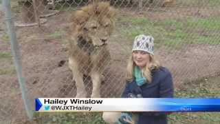 Lion Attacks News Reporter