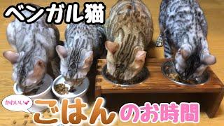 ベンガル猫の一家のかわいいごはんシーンです!猫の鳴き声も生音で収録しました!音楽無し! 食べる音や餌をこぼす音もASMRで耳に心地いい。...