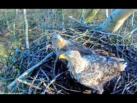 White tail eagles Denmark 2 25 17 850am Eagle pair working getting nest ready for a new season