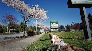 캐나다벚꽃구경하는 오스트레일리안셰퍼드 강아지