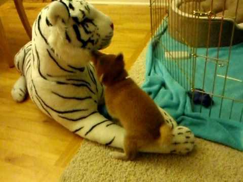 Shiba Inu Puppy attacks tiger