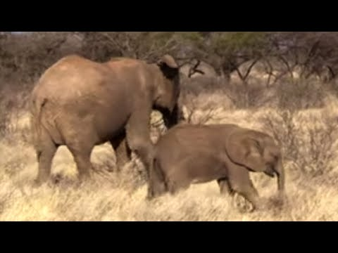 Young Elephants Fight To Survive - This Wild Life - BBC Earth