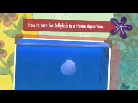 How To Care For Jellyfish In A Home Aquarium