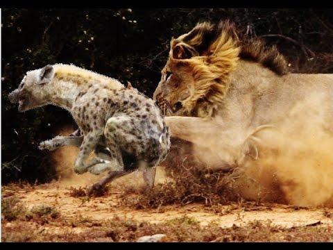 Гиены против львов видео