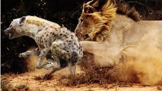Львы против Гиены - 2015(1-Львы против Гиены 2-гиены нападают самца льва 3-гиены и львы бороться до каркаса. 4 львы убивают гиена 5 лев-с..., 2015-02-18T18:14:44.000Z)