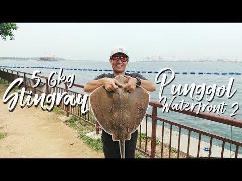 5.6kg Stingray: Punggol Waterfront Fishing