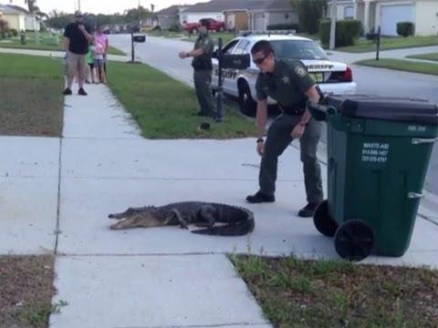 Pasco Sheriff's Deputy wrangles gator in Lutz