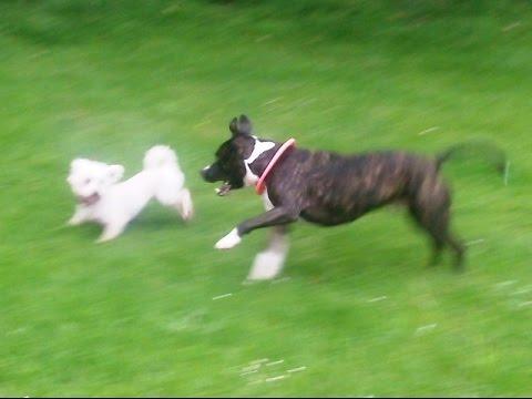 Bichon & Staffordshire Bull Terrier Peppa & Rex,