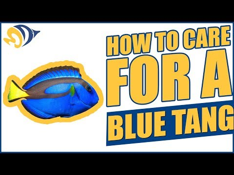Finding Dory: How To Care For A Blue Tang (