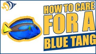 "Finding Dory: How to Care for a Blue Tang (""Dory"") in a Saltwater Aquarium"