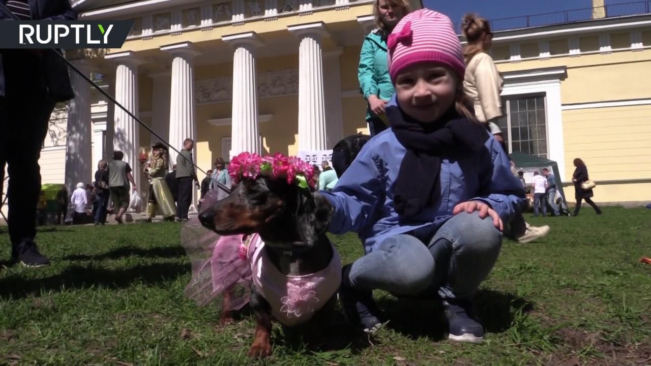 В Петербурге прошёл костюмированный парад такс