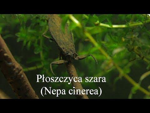 Płoszczyca szara (Nepa cinerea). Water scorpion