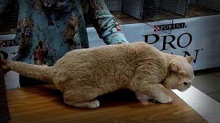 Ну ОЧЕНЬ Шикарный БРИТАНСКИЙ Кот пострадавший в Бою - Обалденный КРАСИВЫЙ Окрас | Породы КОШЕК