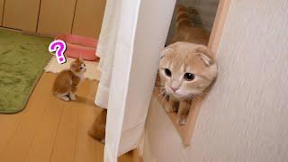 2匹の子猫と対面する先住猫がカーテンの裏に隠れた結果…