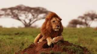 I leoni della Tanzania