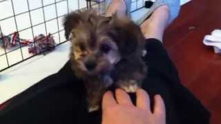 Tiny Teacup Maltipoo Puppy for Sale in Henderson, Summerlin & North Las Vegas