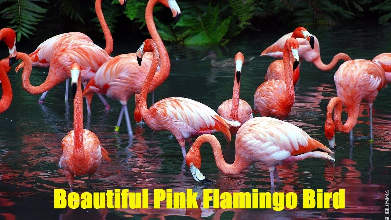 Beautiful Pink Flamingo Bird 4 Fascinating Facts